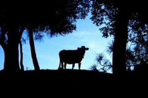 La ultima vaca