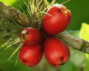 Árboles frutas
