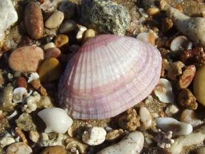 Concha de molusco