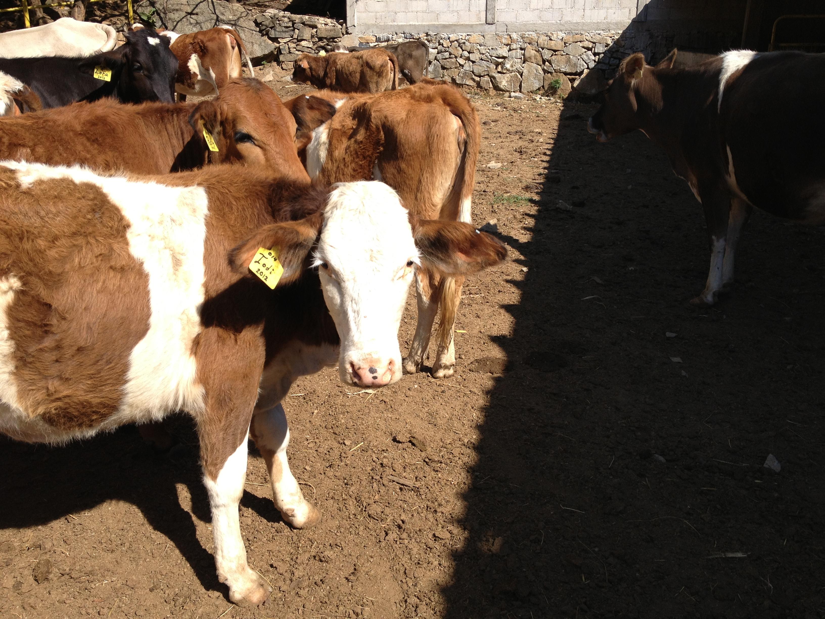 Cuando tus vacas se llaman como tus seres queridos