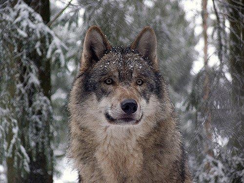 Parábola dos lobos